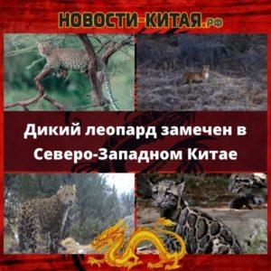 Дикий леопард замечен в Северо-Западном Китае Новости Китая
