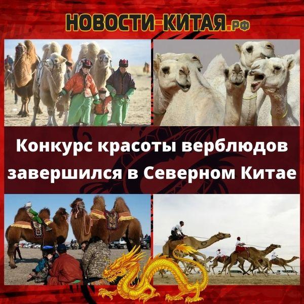 Конкурс красоты верблюдов завершился в Северном Китае Новости Китая