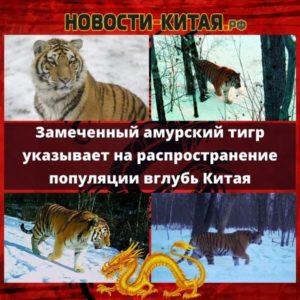 Амурский тигр, замеченный на северо-востоке Китая, указывает на распространение популяции вглубь страны Новости Китая