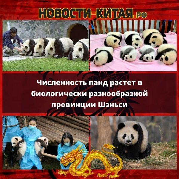Численность панд растет в биологически разнообразной провинции Шэньси