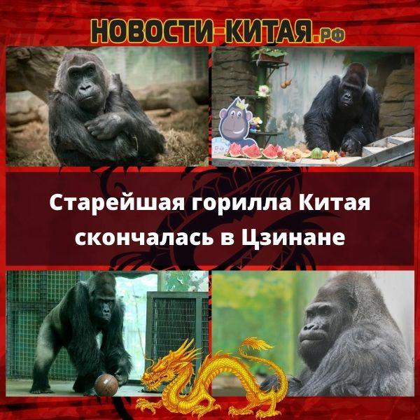 Старейшая горилла Китая скончалась в Цзинане
