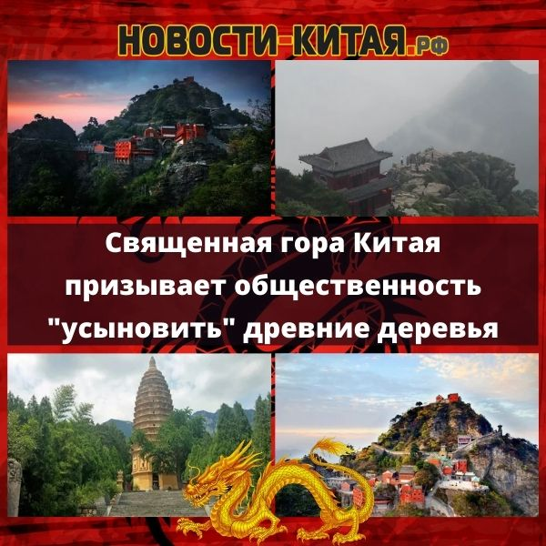 Священная гора Китая призывает общественность усыновить древние деревья Новости Китая