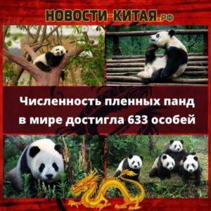 Численность пленных панд в мире достигла 633 особей Новости Китая