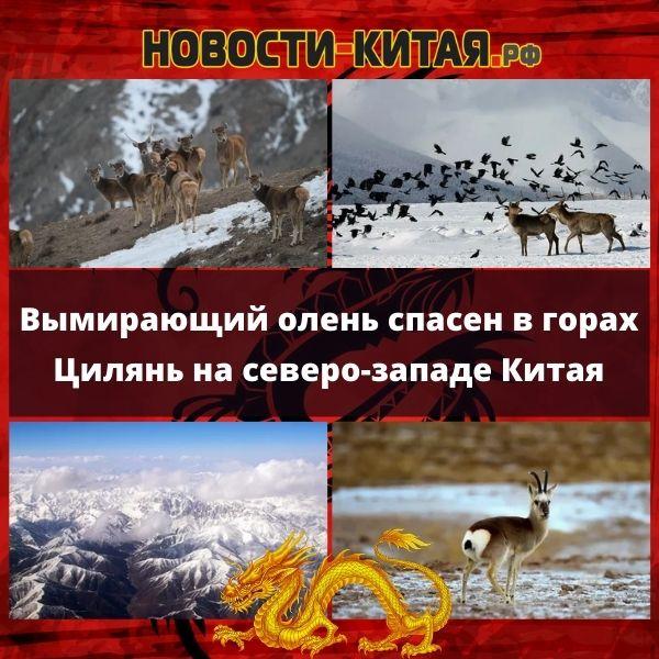 Вымирающий олень спасен в горах Цилянь на северо-западе Китая Новости Китая