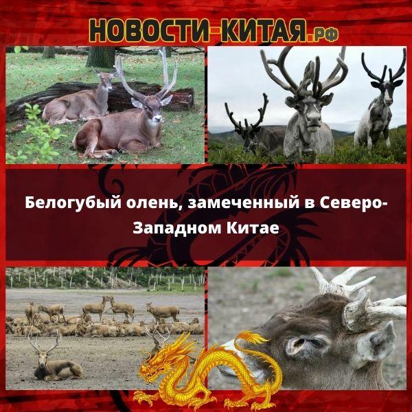 Белогубый олень, замеченный в Северо-Западном Китае