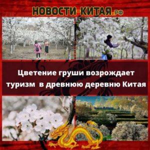 Цветение груши возрождает туризм в древнюю деревню Китая