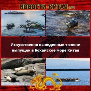 Искусственно выведенные тюлени выпущен в Бохайское море Китая