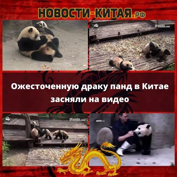 Ожесточенную драку панд в Китае засняли на видео