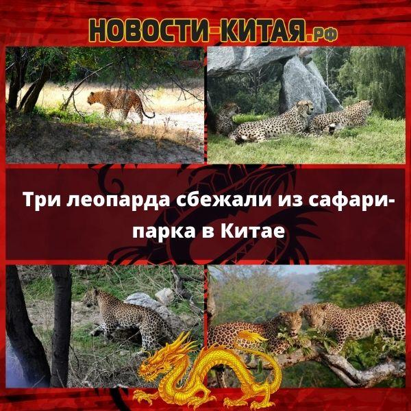 Три леопарда сбежали из сафари-парка в Китае