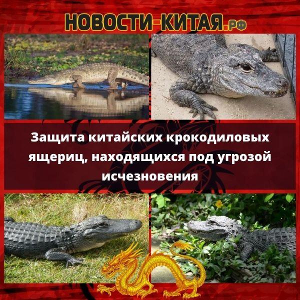 Защита китайских крокодиловых ящериц, находящихся под угрозой исчезновения