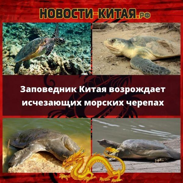 Заповедник Китая возрождает исчезающих морских черепах