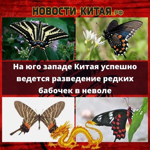 На юго западе Китая успешно ведется разведение редких бабочек в неволе