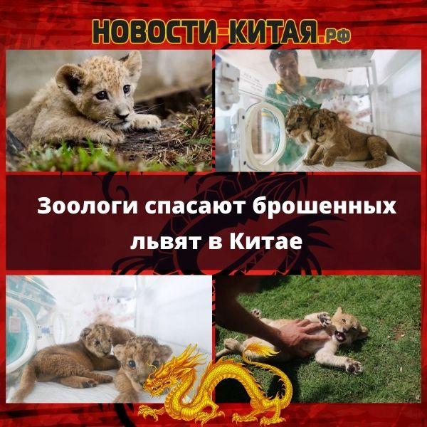 Зоологи спасают брошенных львят в Китае